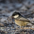 Tannenmeise -Periparus ater